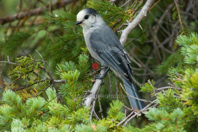 185-003-gray-jay-2006-08-29-damon-s-calderwood-lake-louise-alberta-canada-0286 - Global Bird Photos
