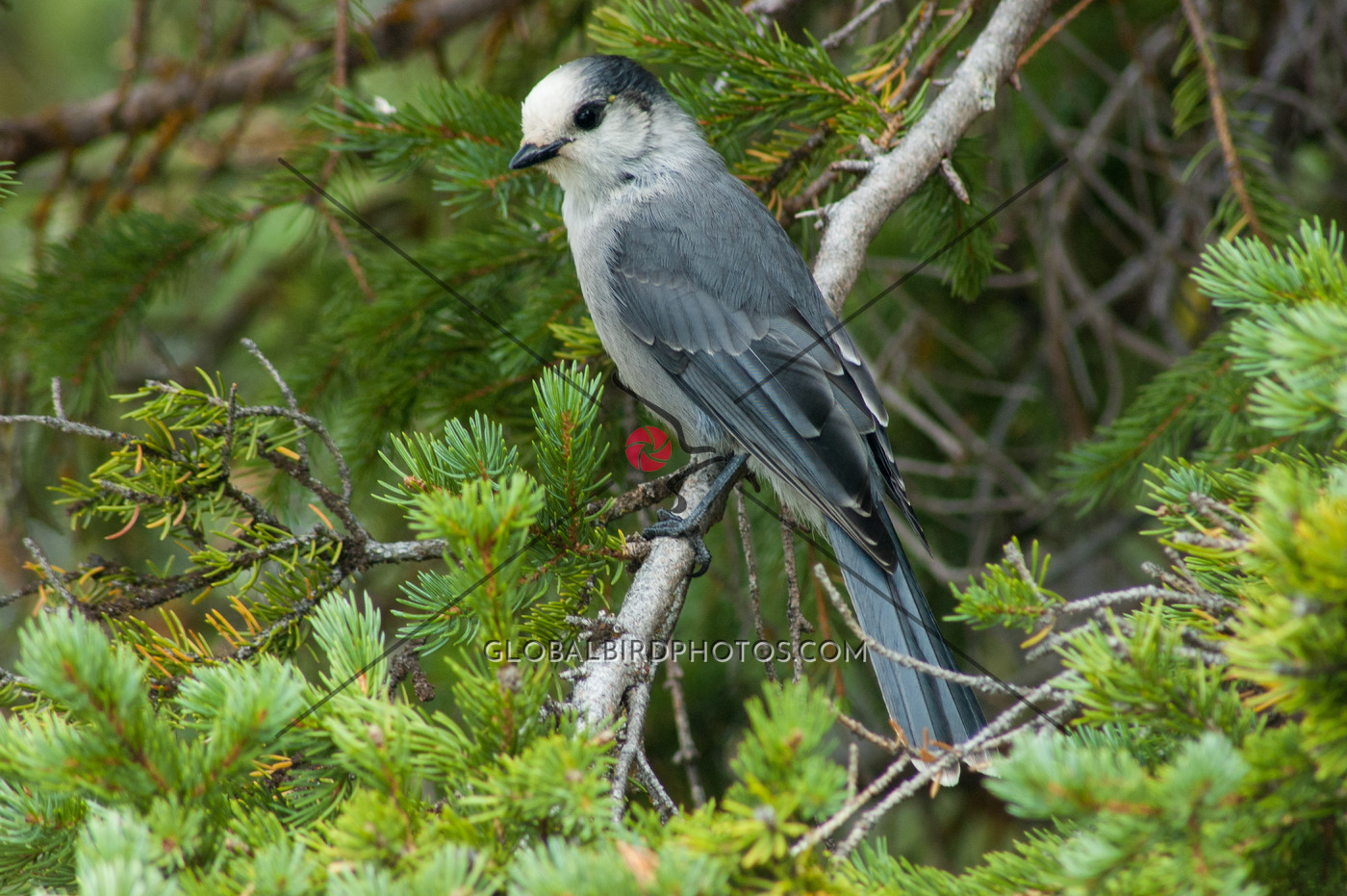 185-003-gray-jay-2006-08-29-damon-s-calderwood-lake-louise-alberta-canada-0286 - Global Bird Photos