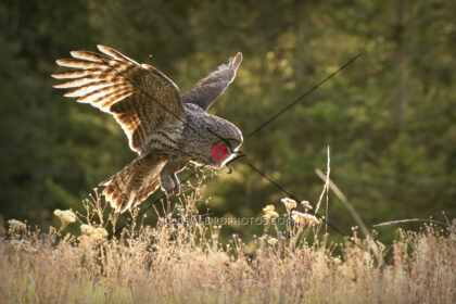 076-005-great-grey-owl-2019-05-20-susan-a-robertshaw-kelowna-bc-canada-8542 - Global Bird Photos