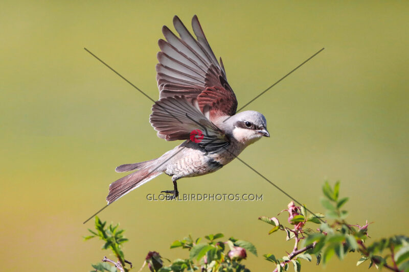 176-003-red-backed-shrike-2020-06-05-berta-martirosyan-ara-mountain-armenia-6282 - Global Bird Photos