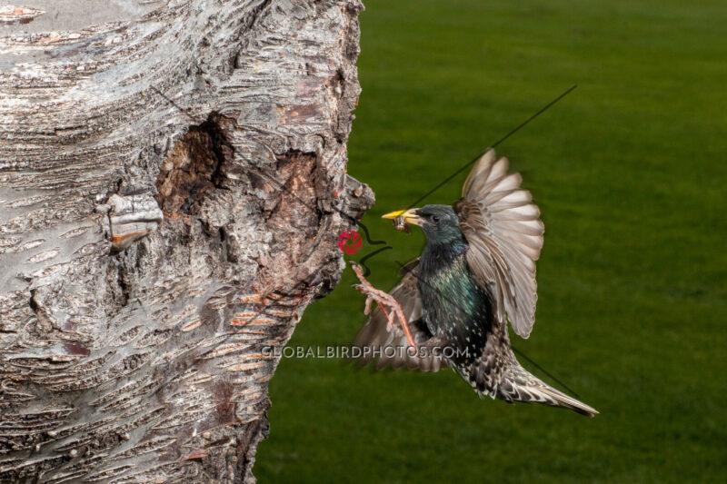 236-001-european-starling-2012-05-21-damon-s-calderwood-penticton-bc-canada-4714 - Global Bird Photos