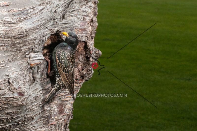 236-001-european-starling-2012-05-21-damon-s-calderwood-penticton-bc-canada-4732 - Global Bird Photos